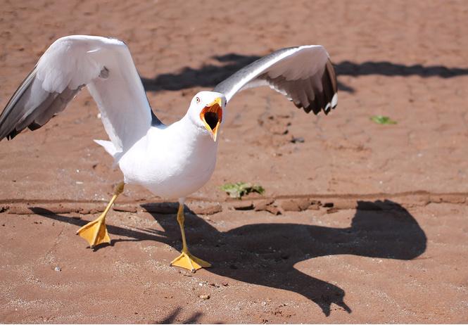Твит дня: чайка отобрала у туристки сэндвич и стала мемом