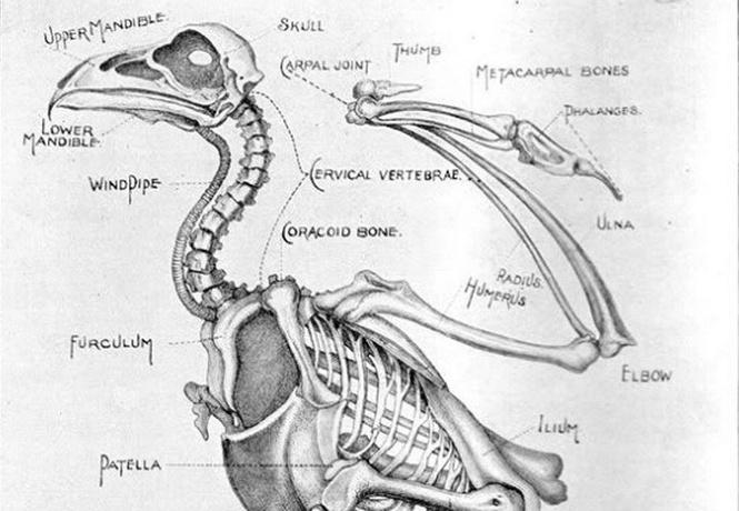 Птицы, вымершие 136 тысяч лет назад, снова появились на планете