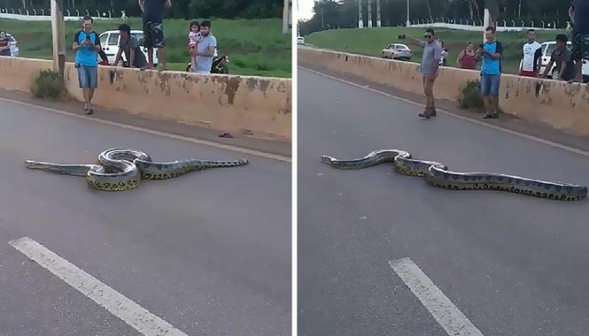 Как прохожие помогали гигантскому питону переползти шоссе (типичное бразильское видео)