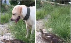 твит утка притворяется мертвой обмануть собаку видео
