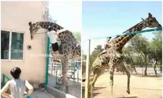 парень перелез забор забрался жирафа зоопарке казахстане видео