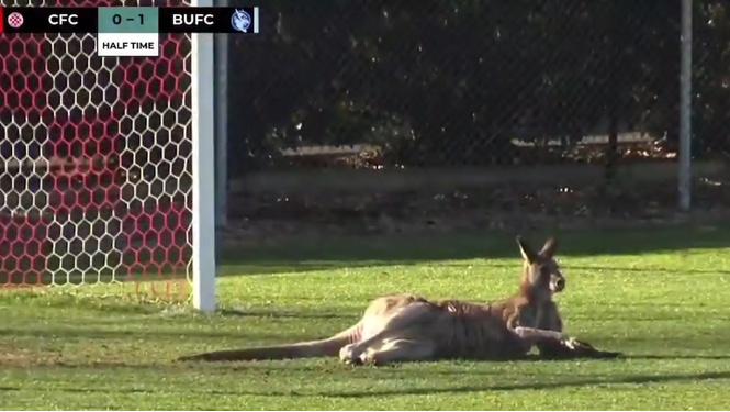футбол по-австралийски матч припрыгал кенгуру встал ворота видео