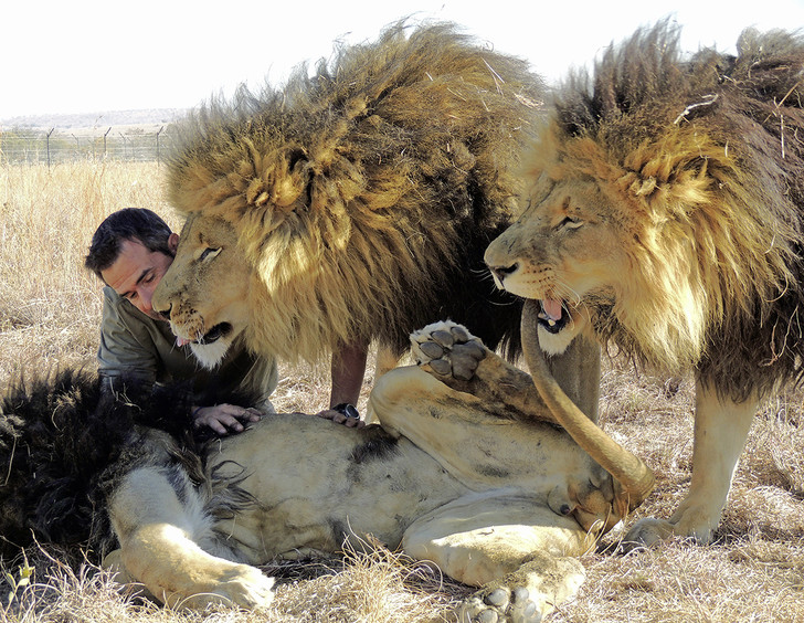 Фото №11 - Крупный домашний кот: как человечество пыталось приручить больших кошек