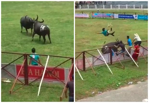 Фото №1 - Бой буйволов во Вьетнаме закончился гибелью человека. Шокирующее видео