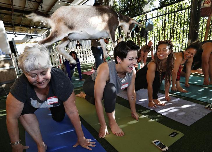 Фото №2 - В Калифорнии практикуют новый вид йоги — с козлом сверху