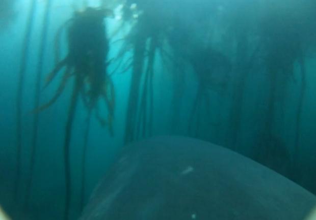 Фото №1 - Вот как видит акулью охоту сама акула (хищное видео от первого лица)