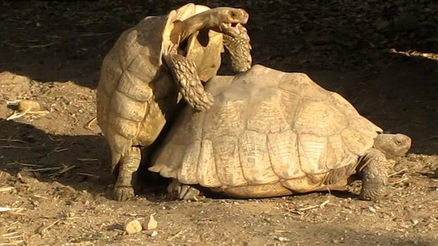 Фото №1 - Самые неистовые ВИДЕО с черепахами, которые ты видел