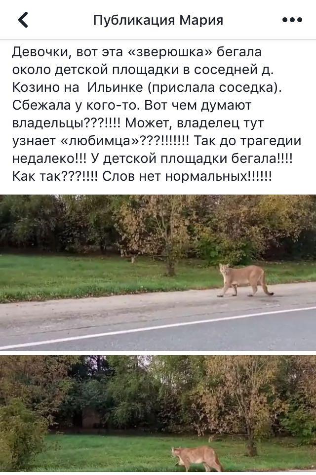Фото №2 - Сбежавшая пума напала на домашнюю собаку в Подмосковье (видео)