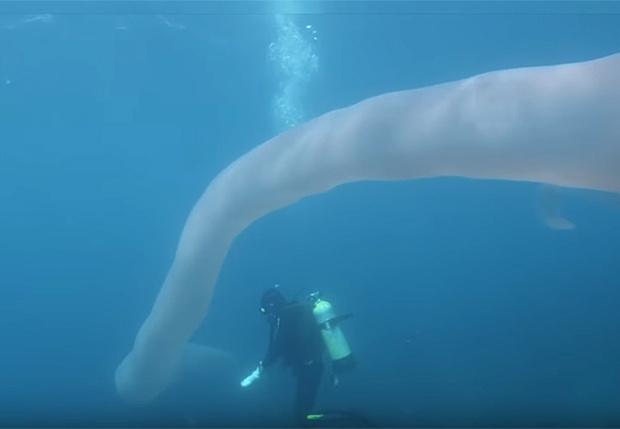 Фото №1 - Ныряльщики сняли на видео невероятного многометрового червя