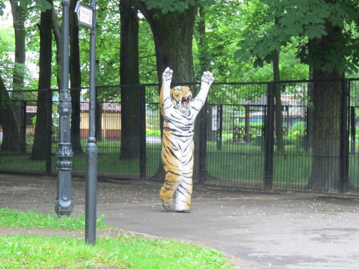 Фото №1 - Уморительное ВИДЕО! Учения по отлову сбежавшего тигра в зоопарке!