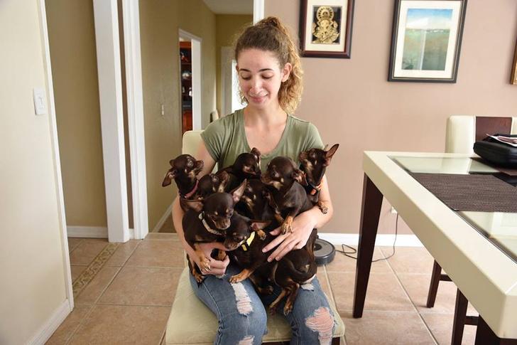 Фото №1 - Самую маленькую в мире собаку клонировали 49 раз!