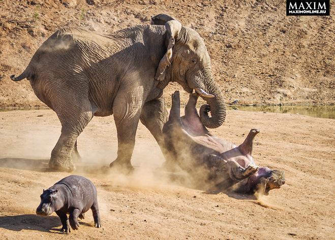 Фото №1 - Фото месяца: слоны без правил