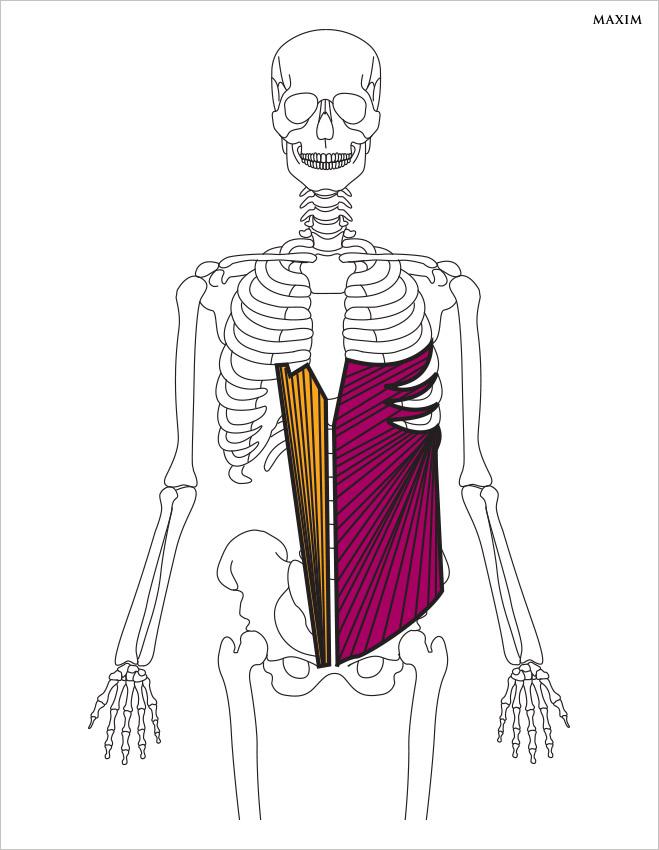 Наружные косые мышцы живота и прямые мышцы живота