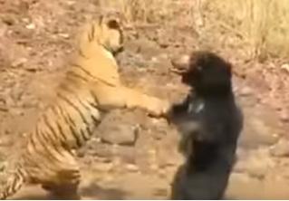 Кровожадная драка тигра с медведем! Редчайшее ВИДЕО