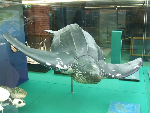 Фото №2 - Для этой огромной черепахи понадобился экскаватор!