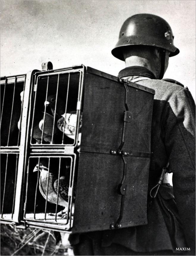 Фото №13 - Зверский героизм: горящие свиньи, противотанковые мыши и другие животные, повлиявшие на исход ВОВ