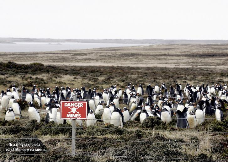 Фото №1 - Пингвины на минном поле: история, скрывающаяся за фотографией