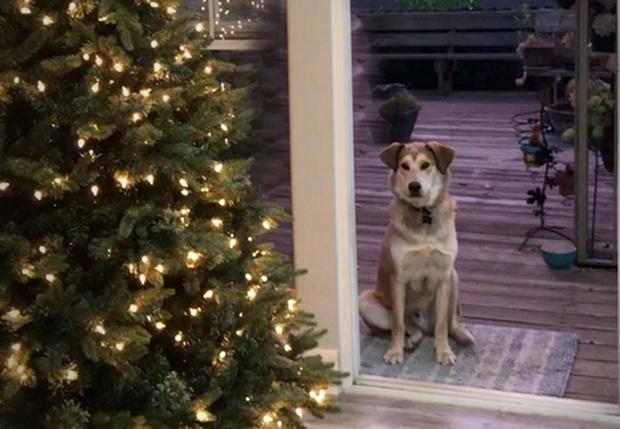 Фото №1 - Собака не может попасть домой из-за «невидимой» двери (видео)