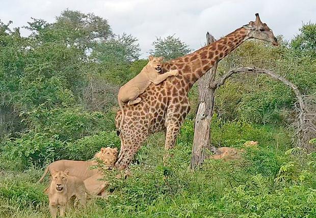 Фото №1 - Львы катаются верхом на жирафе (видео)