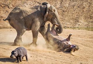 Фото месяца: слоны без правил