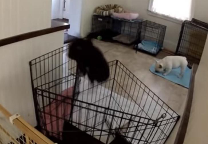 Фото №1 - Эта собака так дерзко сбегает из клетки, что за ней пришлось установить слежку