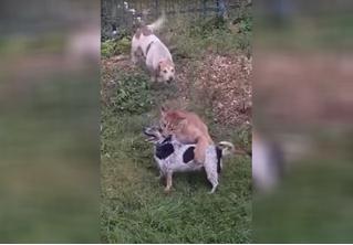 Сбежавшая пума напала на домашнюю собаку в Подмосковье (видео)