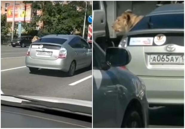Фото №1 - Ничего особенного: просто видео, как лев едет в машине по улицам Владивостока