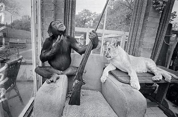 Шимпанзе и лев