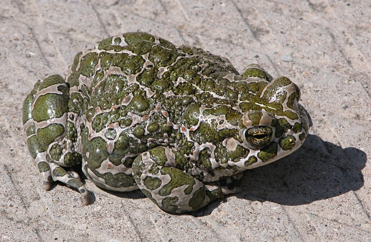 Фото №5 - 20 лучших фото жаб всех времен и народов!