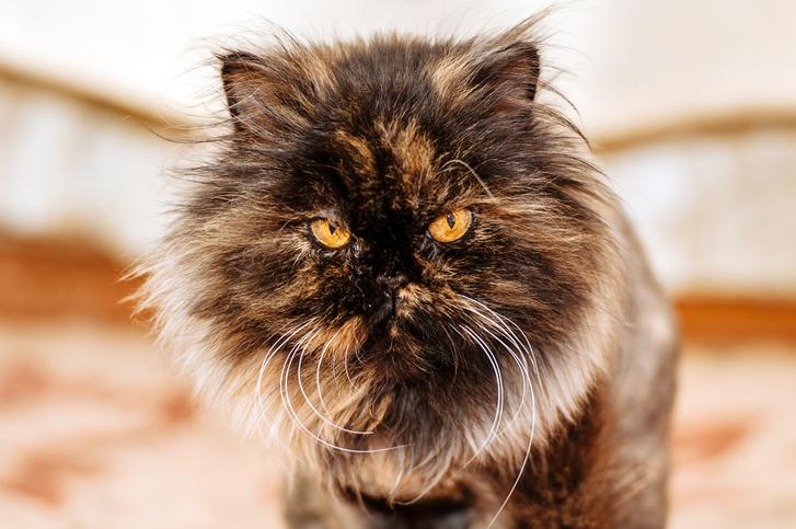 Фото №1 - Пестрые коты злее котов других окрасов!