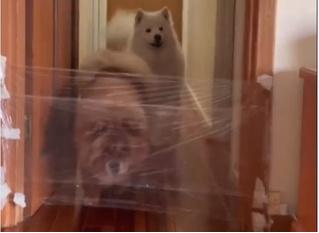 Новый уморительный челлендж: хозяева троллят собак «пленкой-невидимкой» (лучшие видео)