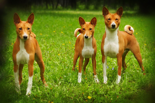 Фото №4 - Пять самых древних пород собак
