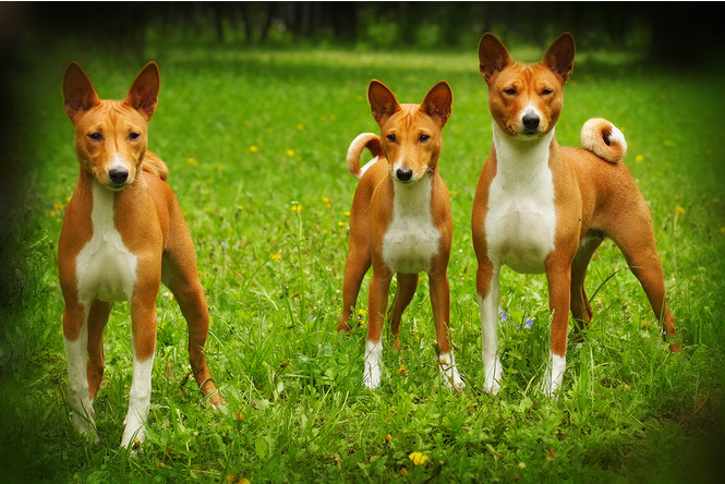 Старожилы припоминают: 5 самых древних пород собак