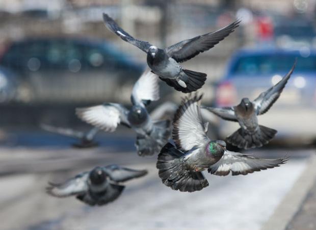 Фото №1 - 8 неожиданных фактов о голубях