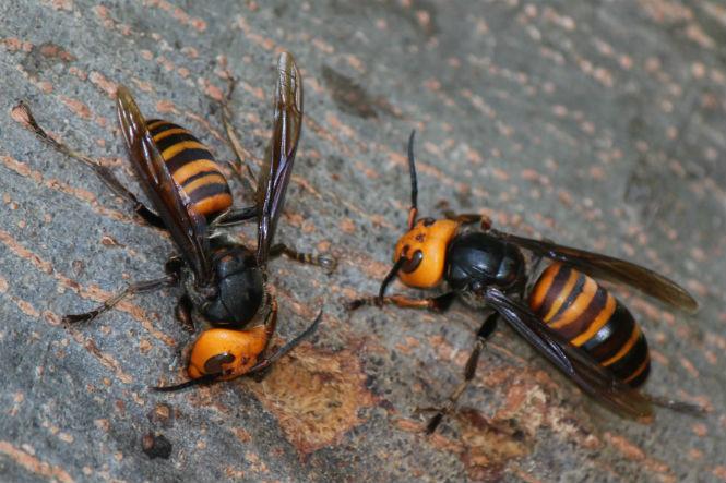 Фото №1 - Пять самых опасных насекомых