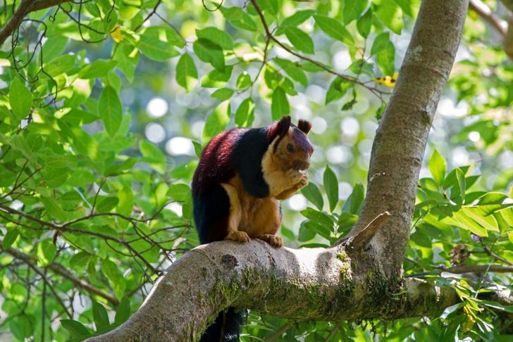 Фото №5 - Животное недели: гигантская индийская белка (фото и гигантское индийское видео)