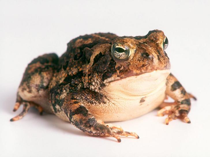 Фото №15 - 20 лучших фото жаб всех времен и народов!