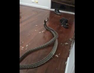 Две гигантские змеи свалились с потолка в спальне и устроили драку (видео)