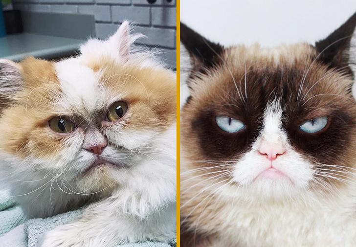 Фото №1 - В Интернете нашли достойного преемника легендарной сердитой кошке Grumpy Cat