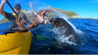 Морской котик швырнул осьминога в лицо байдарочнику (видео)