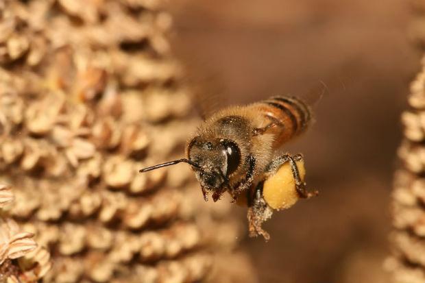 Фото №4 - Пять самых опасных насекомых