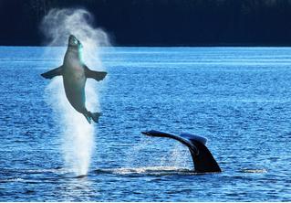 Фотограф запечатлел момент, как кит случайно проглотил и выплюнул морского льва