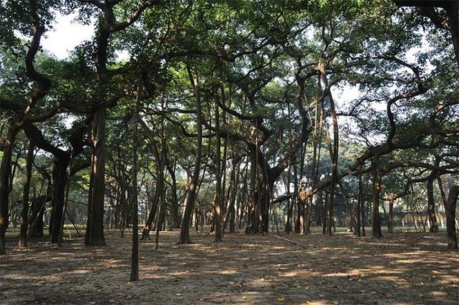 Фото №2 - На вопрос, может ли лес состоять из одного дерева, отвечает Великий баньян