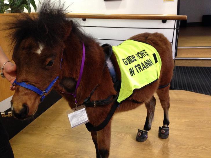 Фото №1 - Милота дня! В Великобритании подготовили первого пони-поводыря