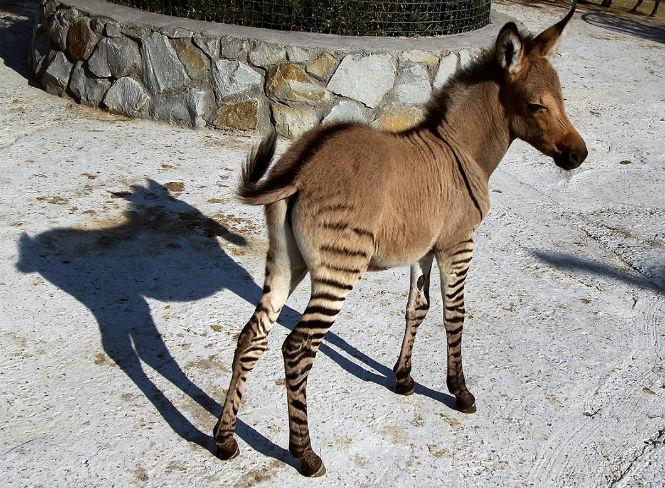 Фото №1 - 13 животных-гибридов, о существовании которых ты не подозревал
