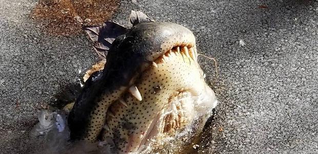 Фото №1 - Жесть! В США аллигаторы накрепко вмерзли в лед! (замораживающее ВИДЕО)