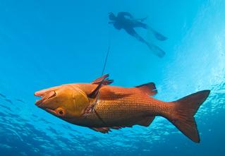 Как охотиться с подводным ружьем