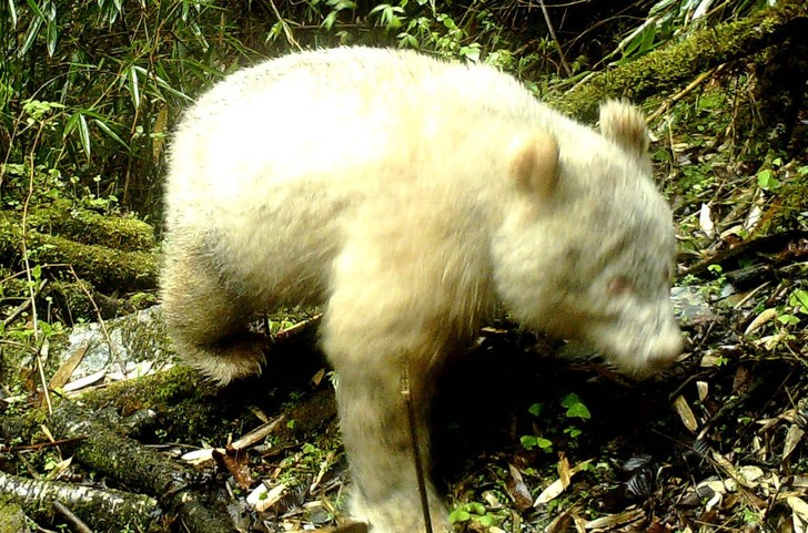 Фото №1 - В Китае впервые попала в фотоловушку панда-альбинос (редкое фото)