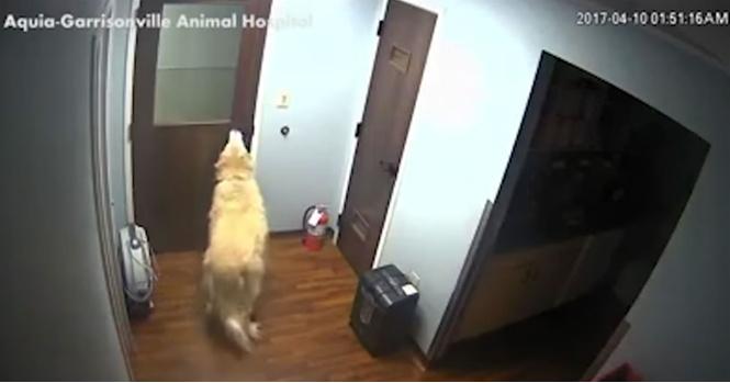 Героическое видео: очень умная собака открыла три двери и сбежала из ветклиники!
