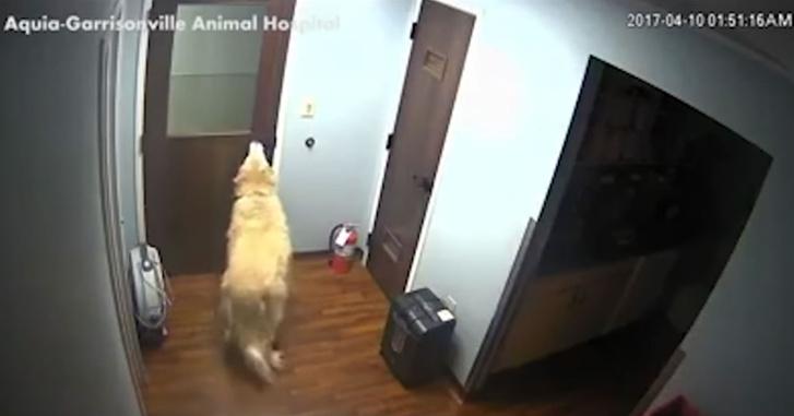 Фото №1 - Героическое видео: очень умная собака открыла три двери и сбежала из ветклиники!